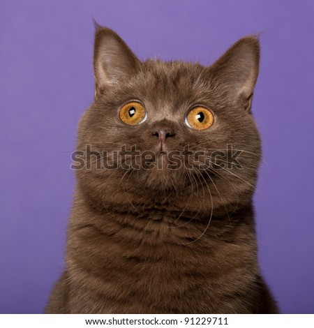 British shorthair cat, in front of purple background