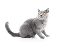 British Shorthair cat isolated on white. Sitting, looking above