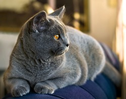 British shorthair cat looking on the couch