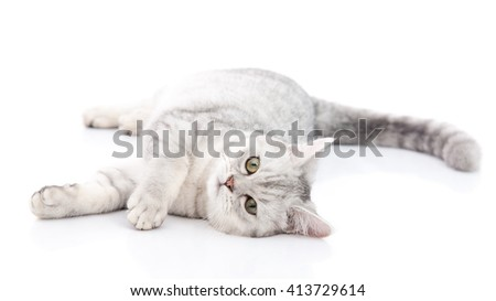 British Shorthair cat lying and looking on white background,isolated