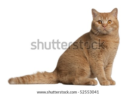 British shorthair cat, 9 months old, sitting in front of white background