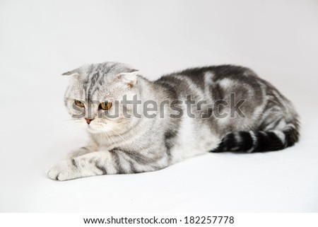 British shorthair cat on white background. Pet in a female hand in the studio