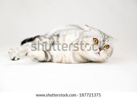 British shorthair cat on white background. Pet in the studio