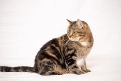 British shorthair cat over white cloth background.