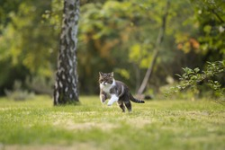 british shorthair cat playing around and running through backyard