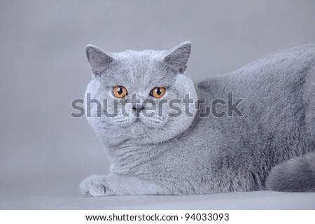 British shorthair cat portrait at grey background