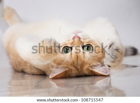 British shorthair cat portrait. isolated on white