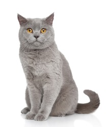 British Shorthair cat portrait on a white background