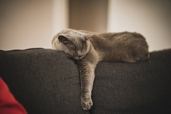british shorthair cat relaxing on sofa