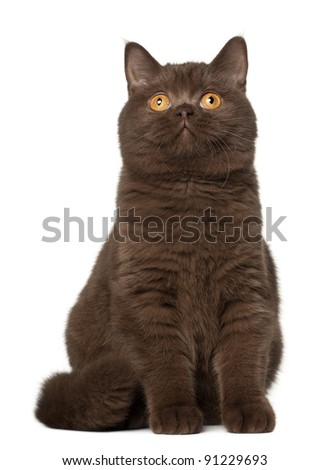British shorthair cat, sitting in front of white background