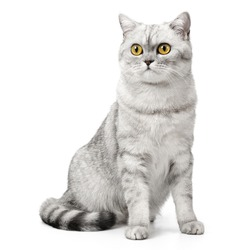 British Shorthair cat sitting up front view, looking at camera with orange eyes, isolated on white background.