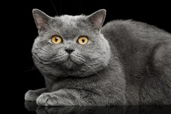 British shorthair grey cat with big wide face Lying on Isolated Black background, side view