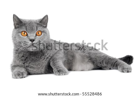 British shorthair grey cat with big wide open orange eyes isolated - stock photo
