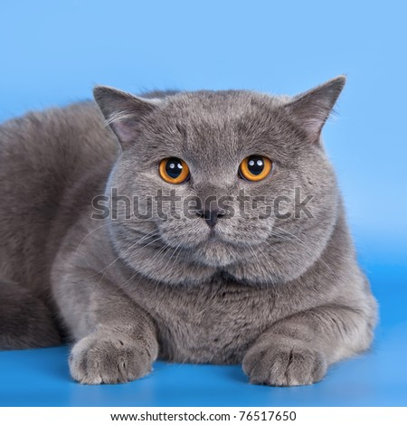 British shorthair head on blue background