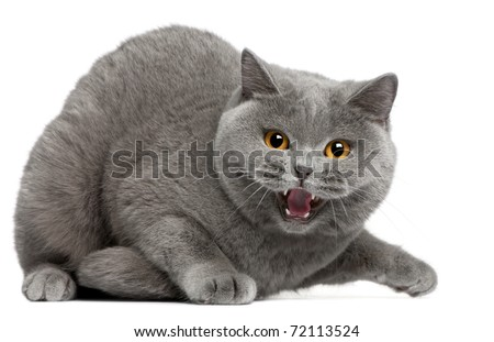 British Shorthair kitten hissing, 2 years old, in front of white background