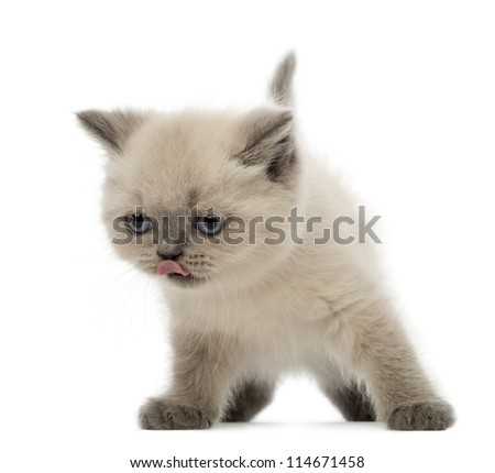 British Shorthair Kitten licking its nose, 9 weeks old, against white background