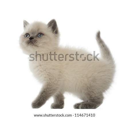 British Shorthair Kitten looking up, 9 weeks old, against white background