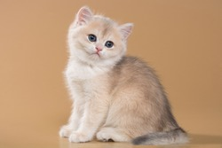 British shorthair kitten of blue gold color on a beige background in playful poses