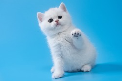 British Shorthair kitten of silver color on blue  backgrounds
