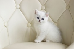 British Shorthair kitten of silver color. Pure breed British Shorthair Cat.