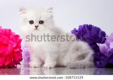 British shorthair kitten portrait. isolated on white