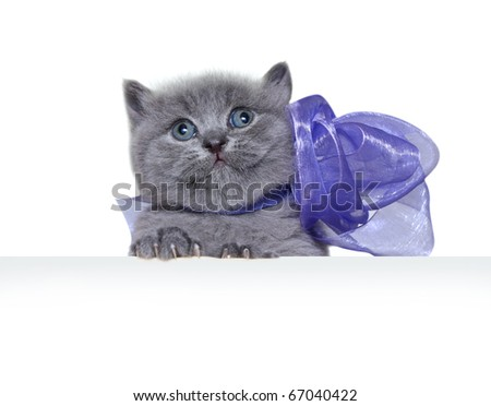 British Shorthair kitten with bow and copy space for your text