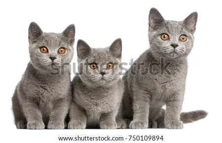 British Shorthair kittens, 3 months old, sitting in front of white background #750109894