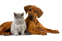 BRITISH SHORTHAIR LILAC MALE CAT AND RHODESIAN RIDGEBACK 3 MONTHS OLD PUPPY
