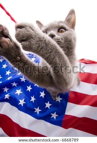 British Shorthair on U.S.A flag