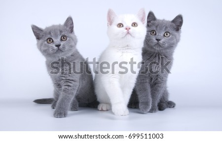 British shorthair three cats kitties on white background - Shutterstock ID 699511003