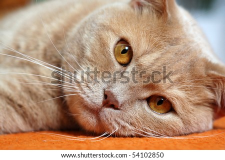 British shorthair tomcat