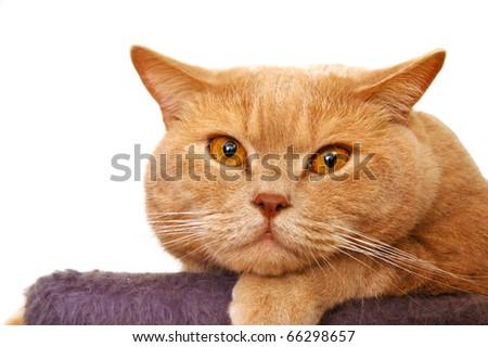British shorthair tomcat