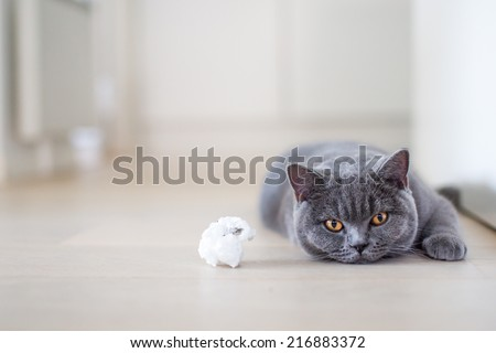 British shorthair. Want to play? British shorthair kitten laying on the floor next to toy. cat staring with yellow eyes. Grey cat at home. light background.