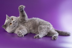 british shorthaired british cat male blue color with bright orange eyes in a recumbent position on a bright purple background