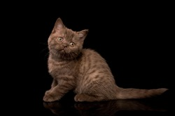 British shorthaired chocolate kitten with thick paws with thick plush hair, with a smart look on a black background, isolated