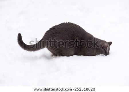 British shorthar on white backgroun. Cat digging snow. white background. Grey cat isolated.