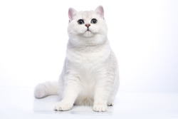 British silver chinchilla cat with green eyes on a white background in a sitting pose