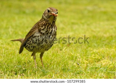 British Song Thrush (Turdus philomelos) with bread in its beak.