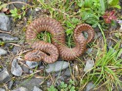 british venomous snake an adder