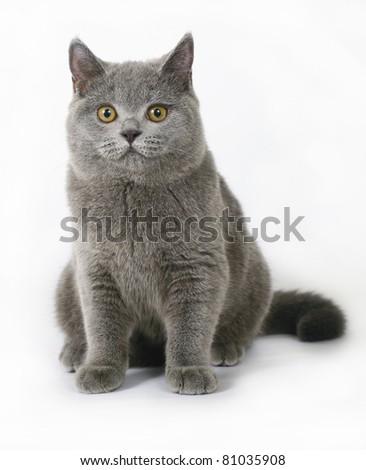 Britishcat on white background