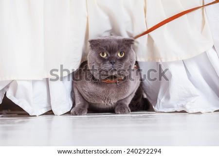 Briton cat on white background