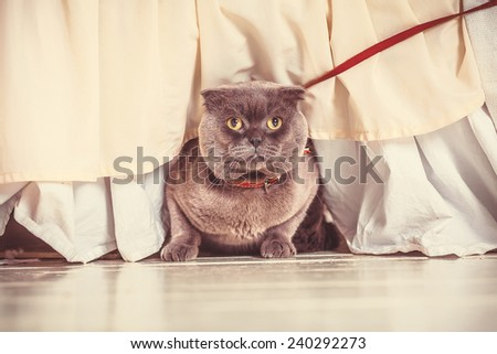 Briton cat on white background. tint
