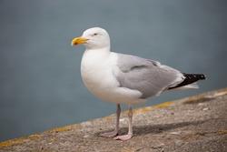 Brittany Bretagne: Herring gull Larus argentatus
