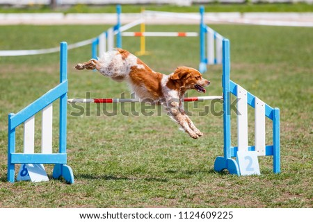 Brittany dog jumping over hurdle in agility competition
