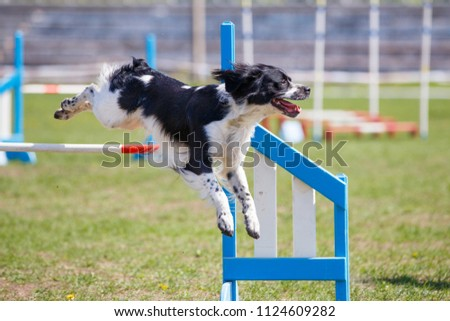 Brittany Dog jumping over hurdle in agility competition. Close up image