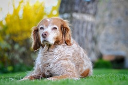 Brittany spaniel dog posing on the grass on a sunny day