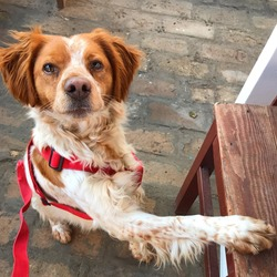 Brittany spaniel dog, puppy with leash on and waiting to go for a walk.