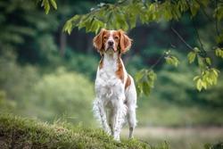 brittany spaniel female dog portrait