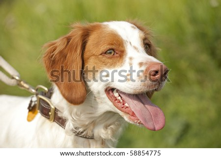 brittany spaniel in field ready to hunt