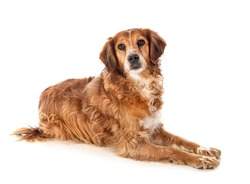 brittany spaniel in front of white background
